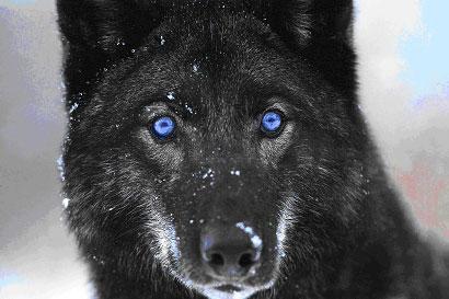 Kol in Wolf Form