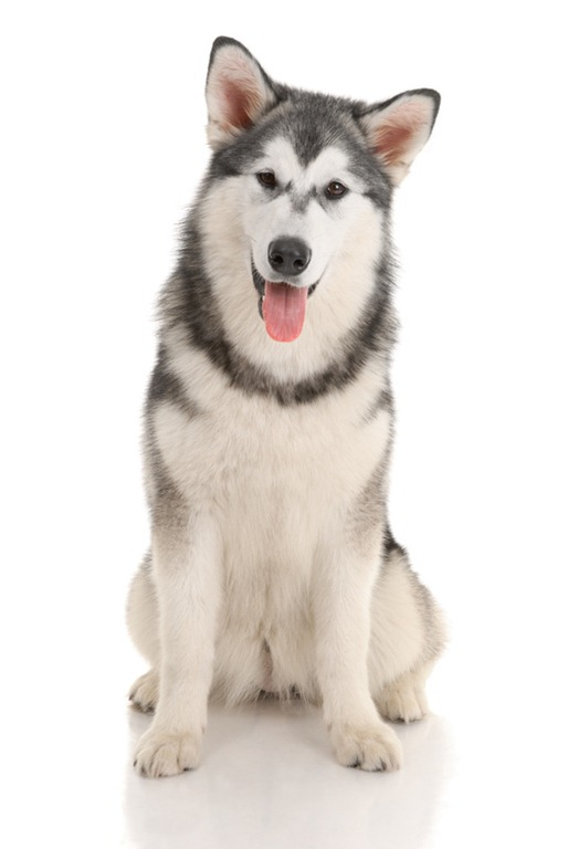 Can you really tell the difference between a malamute and a husky just by looking?