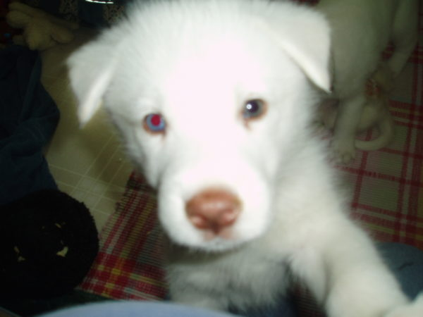 Despereaux, our husky adopted from Adopt a Husky
